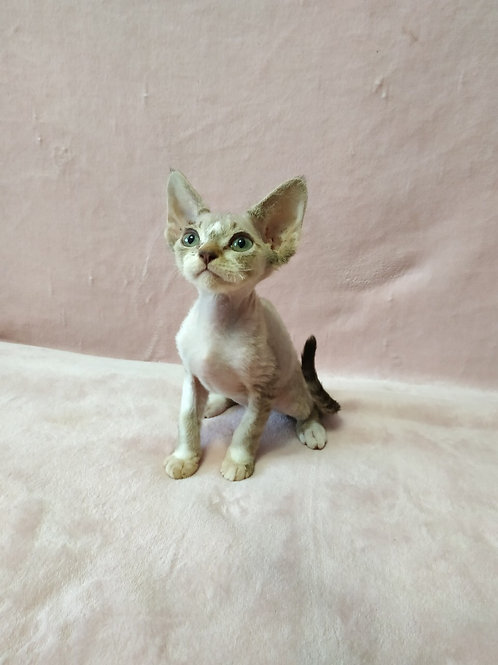 Bellissimo black tabby with white colorpoint male kitten Devon Rex