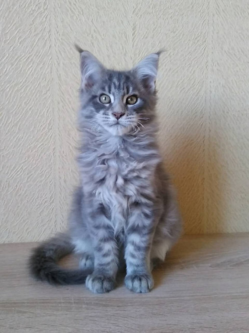 Asia blue tiger color female Maine Coon kitten
