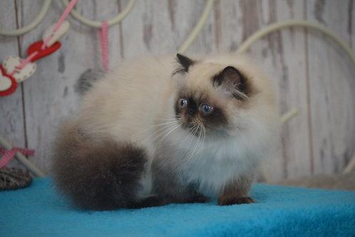 Balu seal point color Persian male kitten