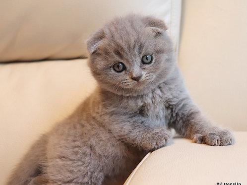 Britany purebred Scottish fold kitten in a blue color