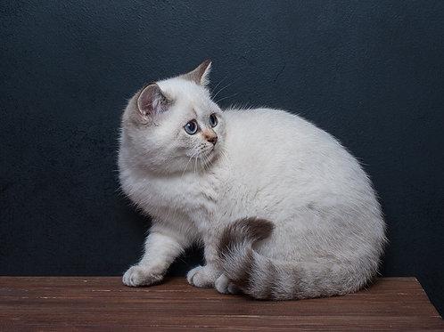 Xenia purebred British shorthair female kitten