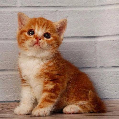 Faina Scottish straight shorthair female kitten