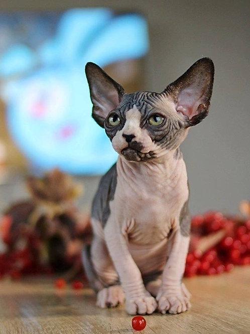 Bali female Sphinx kitten