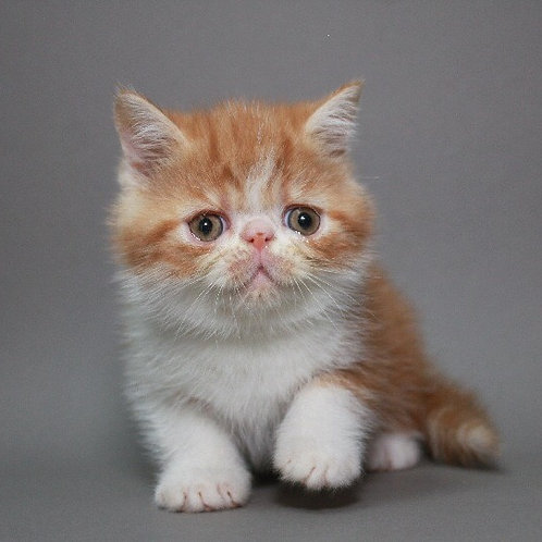 Leon red marble on white color Exotic shorthair male kitten