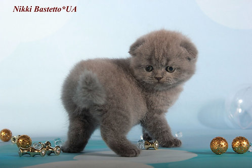 Nikki super cute Scottish fold shorthair male kitten