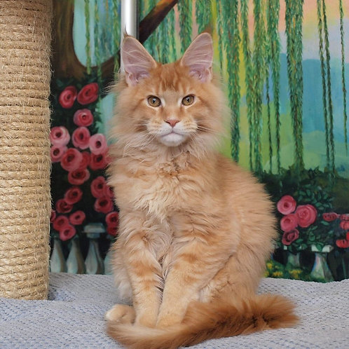 UA*Felissimo Queen of Diamonds Maine Coon red tabby female kitten