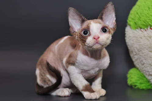 Pompeya female kitten Devon Rex