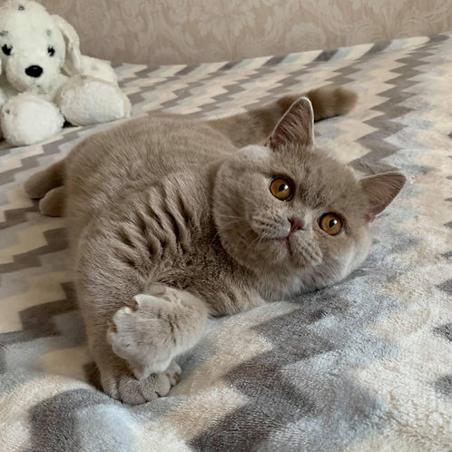 Oliver British shorthair male kitten