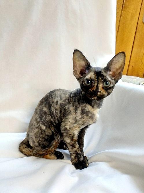 Nirvana tortle color female kitten Devon Rex