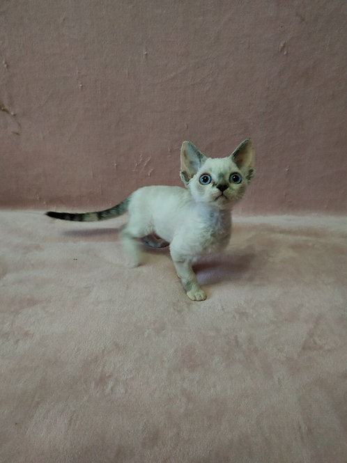 Bella black tabby with white colorpoint female kitten Devon Rex