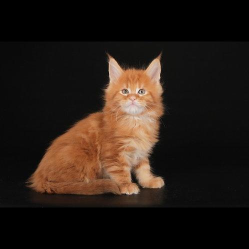 882 Romantik   Maine Coon male kitten