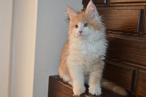 Aben Maine Coon male kitten