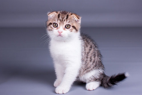 Zein Scottish fold shorthair male kitten