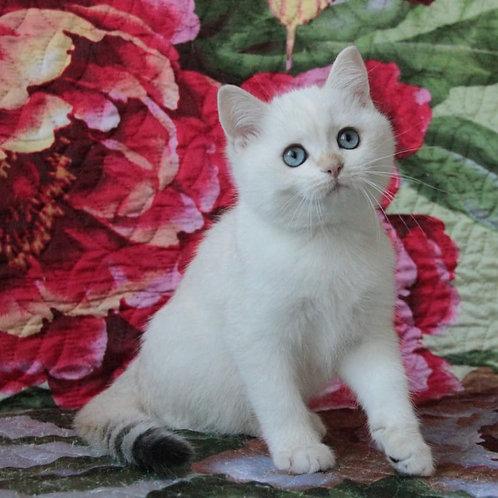 549 Unicum  British shorthair male kitten