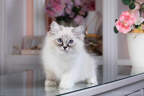 45 Sara  Siberian female kitten