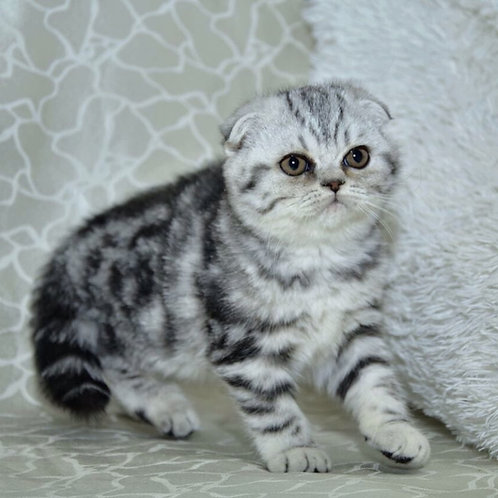Tina purebred Scottish fold black marble girl