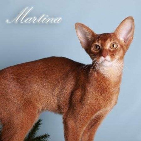 Martina purebred Abyssinian female kitten