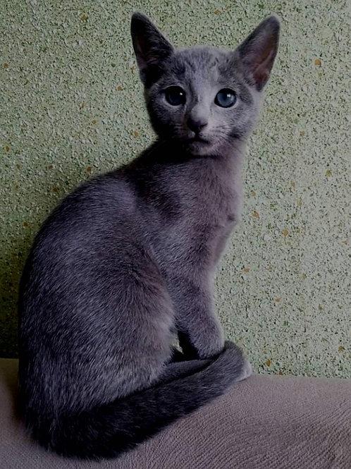 304 Russian Spirit   Russian blue male kitten