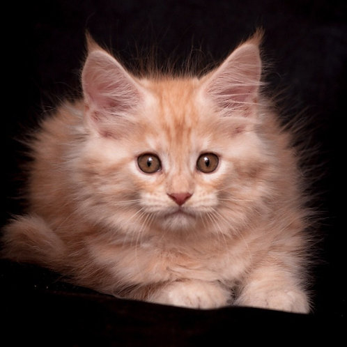 Doroti Maine Coon red marble smoky color female kitten