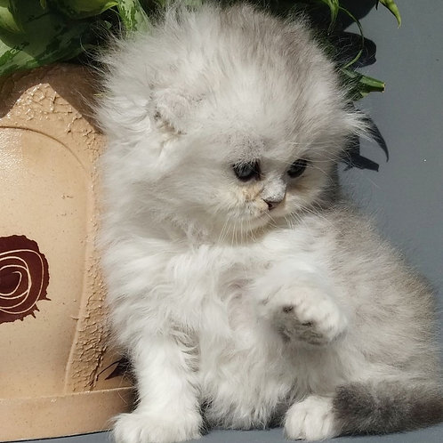 Guf Scottish fold male kitten