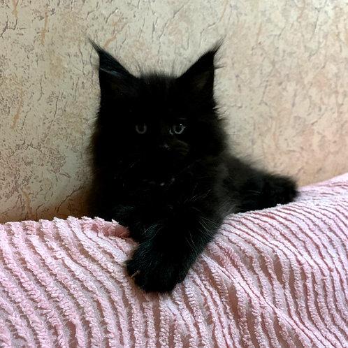 Maleficenta Maine Coon kitten