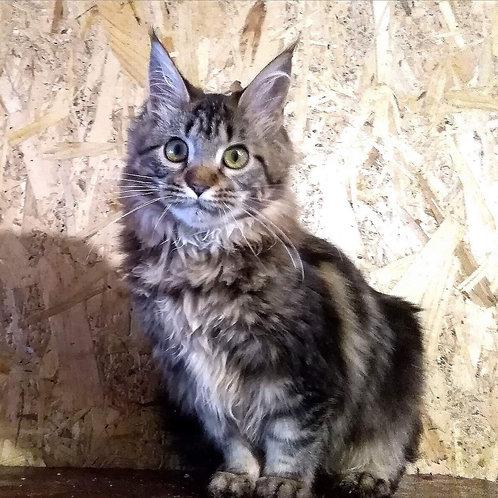 Adel Maine Coon black marble female kitten