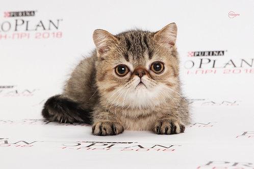 Karolin brown tabby color Exotic shorthair female kitten