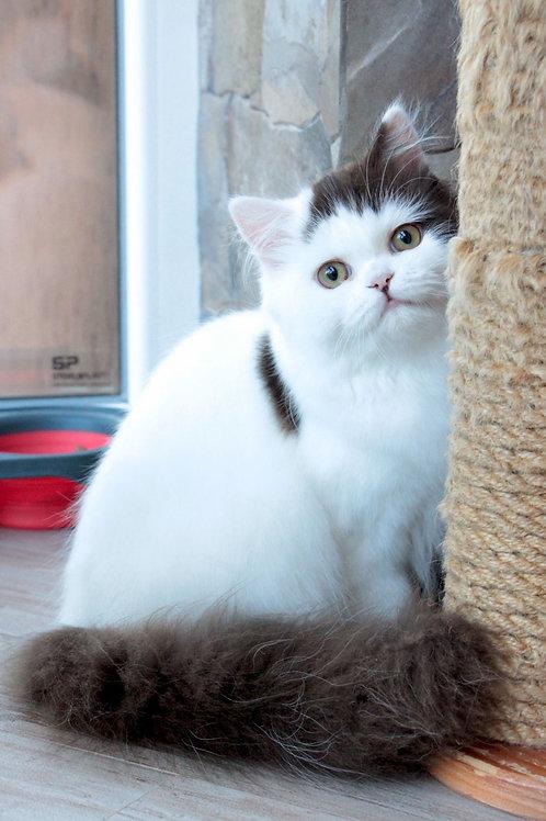734 Curt   Scottish straight longhair male kitten