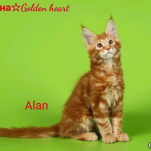 Golden heart Alan Maine Coon red tabby male kitten