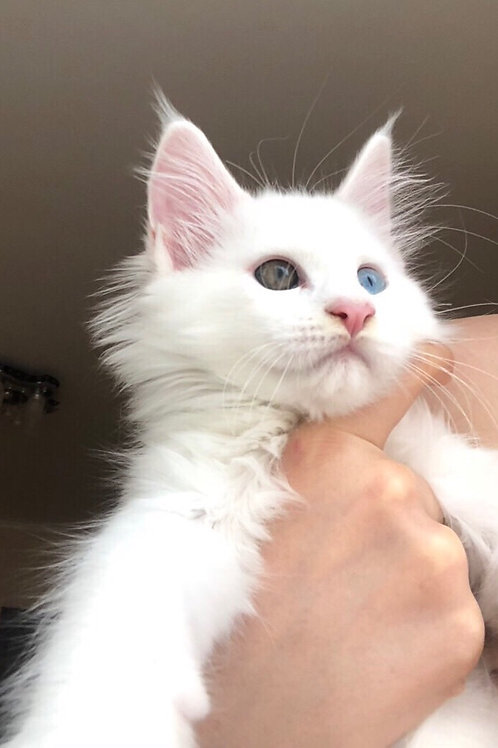 Angelika purebred Snow White female Maine Coon with oddeyed eyes