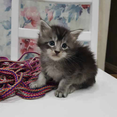 Fillin black silver color male Maine Coon kitten