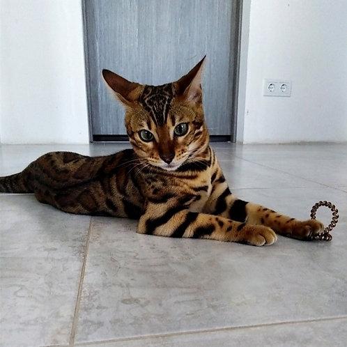 Berica purebred Bengal female kitten