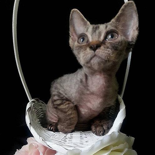 Freya purebred Devon Rex kitten
