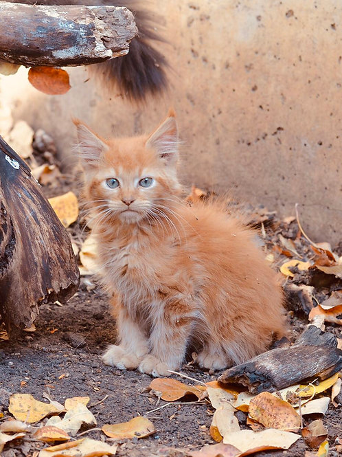 Metric red color male Maine Coon kitten