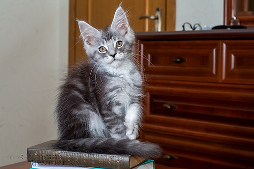 Cosmo Maine Coon in a black silver with white color