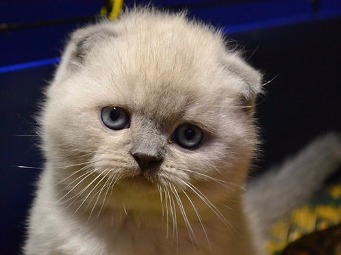 Best Paradise Maximus color point purebred Scottish fold shorthair kitten