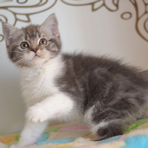 Angel super cute Scottish fold shorthair male kitten