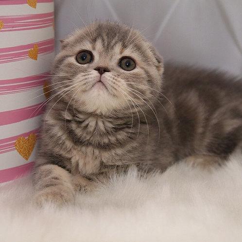 Gracia Scottish fold shorthair female kitten