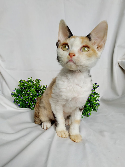 Adel calico color female kitten Devon Rex