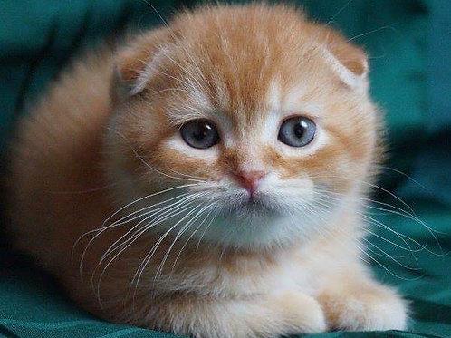 Tesey Scottish fold shorthair male kitten