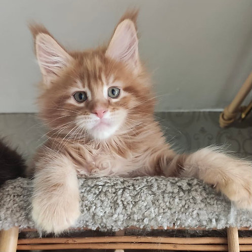 757 Yantar Maine Coon male kitten