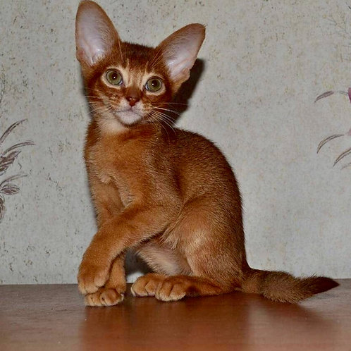 Gingerel purebred Abyssinian male kitten