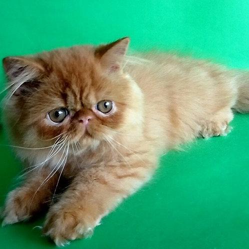 Cler Persian female kitten