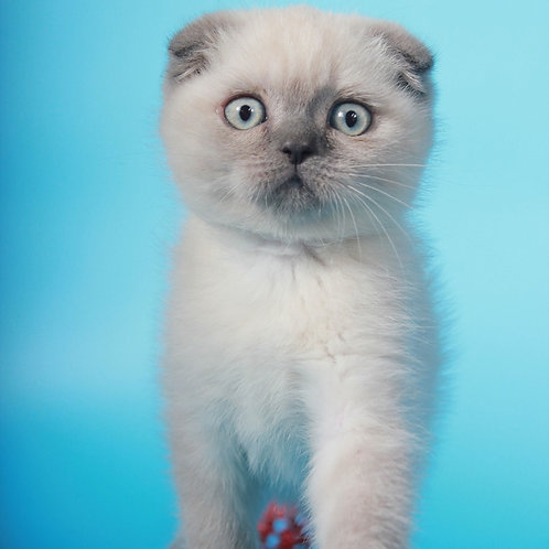 Kelly purebred Scottish fold lilac color point