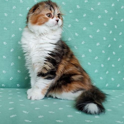 214 Lusi     Scottish fold longhair female kitten