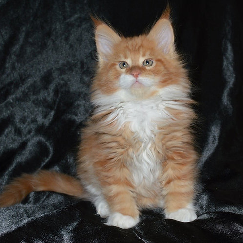 Anex Maine Coon male kitten