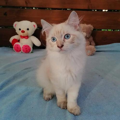 211 Pandora      Siberian female kitten