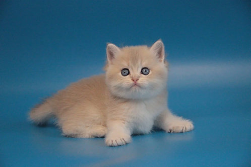 1004 Forbes British male kitten