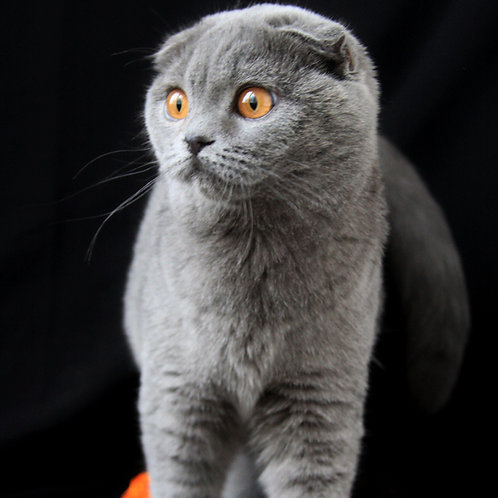 Cinderella Scottish fold shorthair female kitten