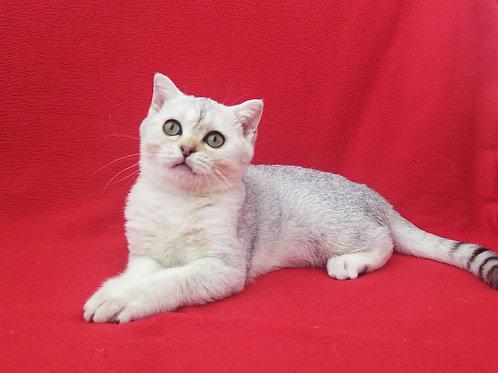 735 Civic Scottish straight shorthair male kitten